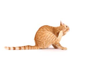 Bir kedinin kene nasıl çekilir Birkaç ipucu